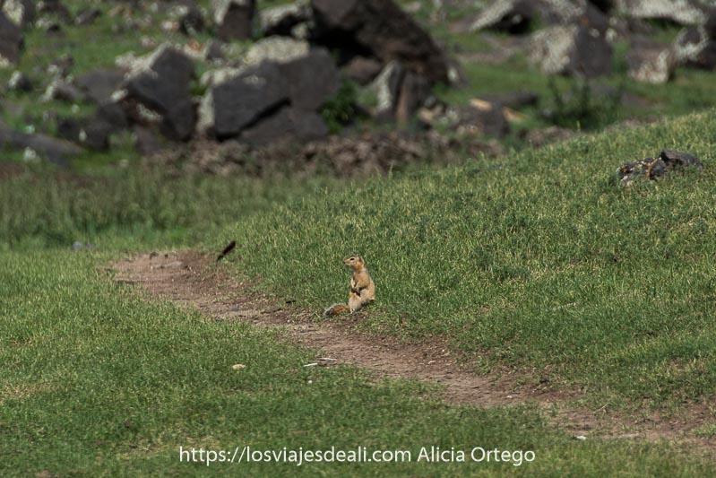 marmota alzada sobre patas traseras con manitas hacia abajo como si fuera una persona junto a un camino en medio de la hierba fauna de mongolia