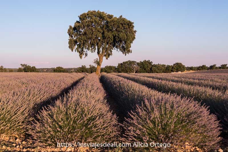 árbol con gran copa en medio de un campo de lavanda en la Alcarria