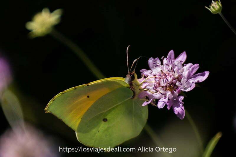mariposa con alas que parecen hojas libando en flor malva