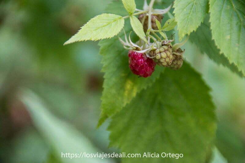 frambuesa roja con dos verdes entre hojas