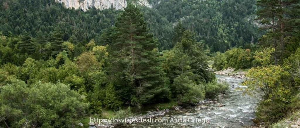 pinos silvestres y otros árboles junto al río ara que hace curva en el Valle de Bujaruelo