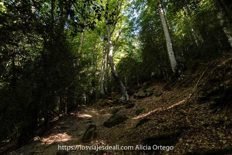 bosque de hayas altísimas en la ruta a los Llanos de La Larri