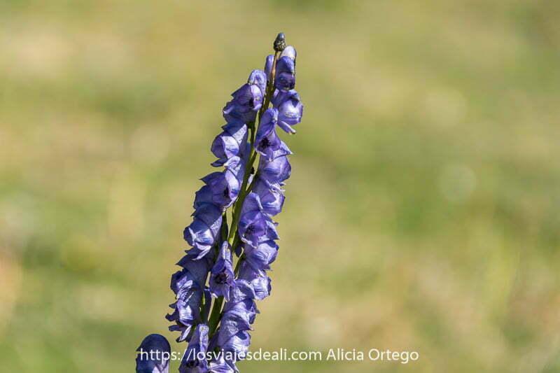 flor de color malva compuesta por muchas campanillas en vertical