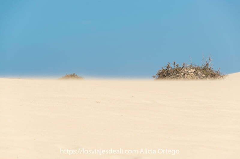 dunas de corralejo con arena levantada por el viento y un arbusto en fuerteventura