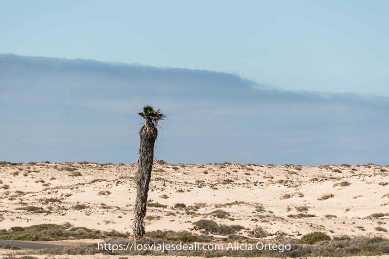 palmera solitaria en campo de dunas en el norte de Fuerteventura