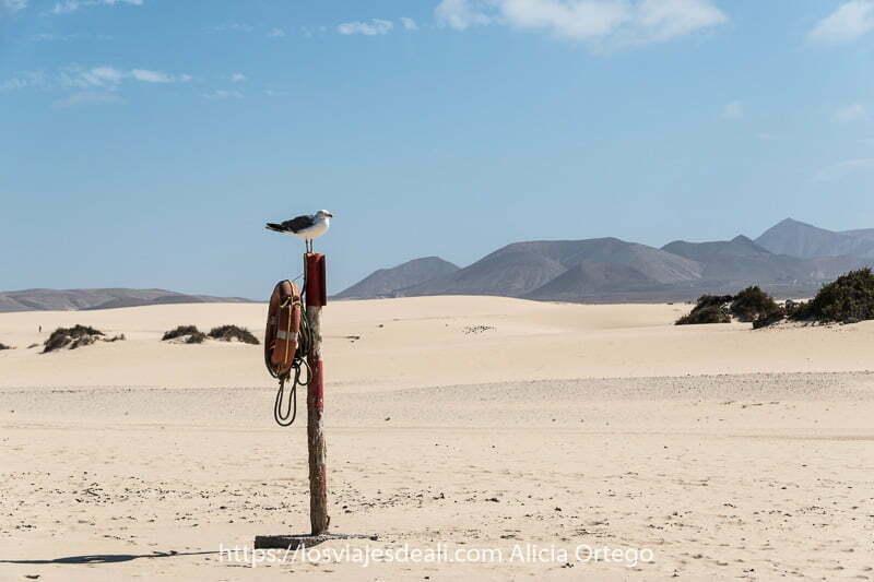 gaviota posada sobre poste con salvavidas y las dunas de corralejo y volcanes detrás