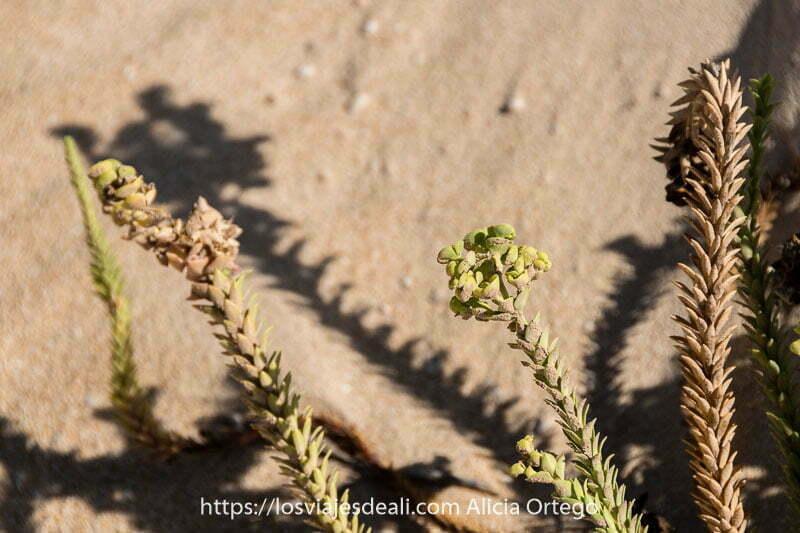 planta suculenta que crece en las dunas de corralejo