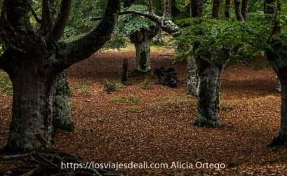 grandes hayas con hojas verdes y suelo de hojas secas rojas en el fin de semana en sarría
