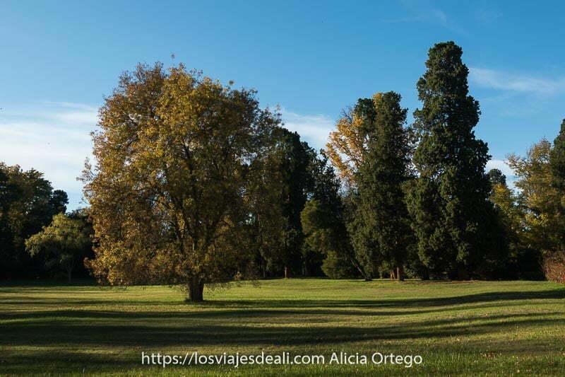 prado con gran árbol en el centro con ramas amarillentas en Aranjuez