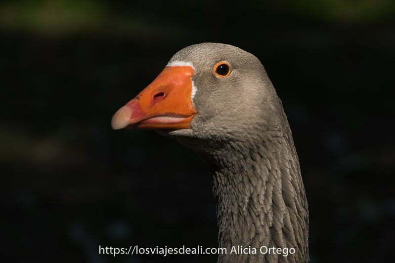 retrato de oca de plumas grises y ojo rodeado de membrana naranja como el pico