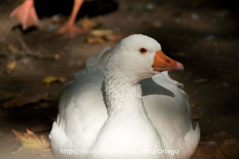 oca de color blanco con pico naranja y ojo ribeteado de naranja