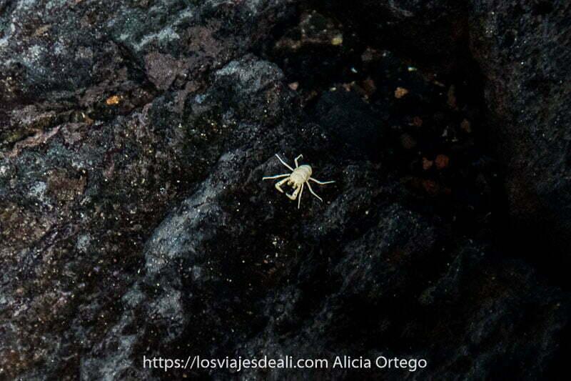 cangrejo albino llamado jameíto en una roca negra de los jameos