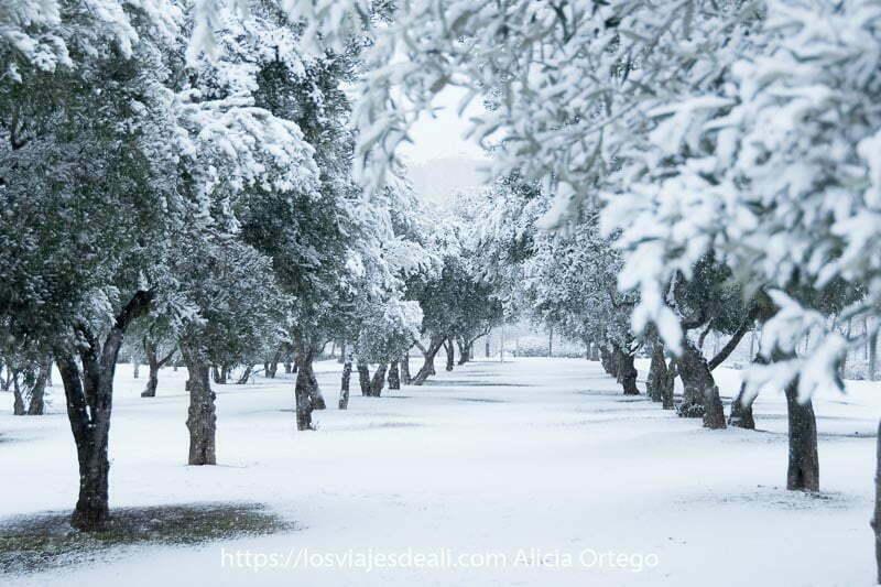 camino entre filas de olivos con ramas llenas de nieve en madrid