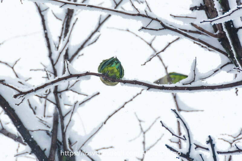 cotorra verde en rama de árbol con nieve en madrid