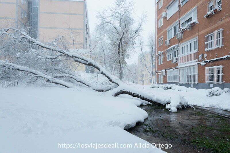 árbol grande arrancado de cuajo por la nieve en madrid