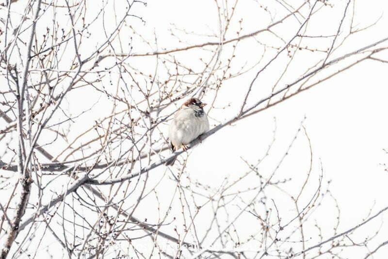 pequeño gorrión con pecho blanco en una rama de árbol con nieve en la cabeza