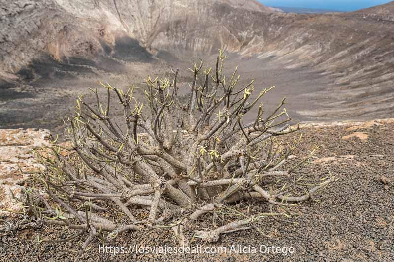 arbusto de tabaiba con hojas recién nacidas y la caldera al fondo