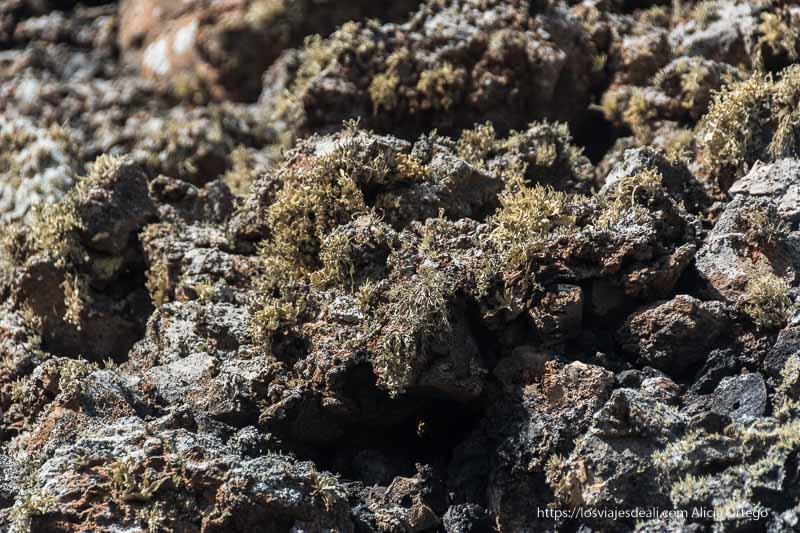 líquenes sobre rocas de lava en el parque nacional de timanfaya