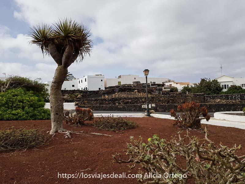 pueblo de mancha blanca con un pequeño árbol drago en un jardín