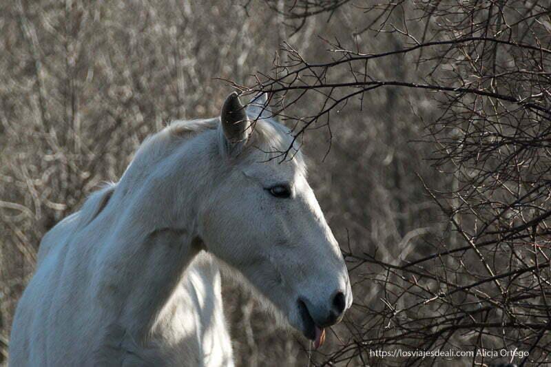 caballo blanco de perfil entre ramas de árboles desnudas