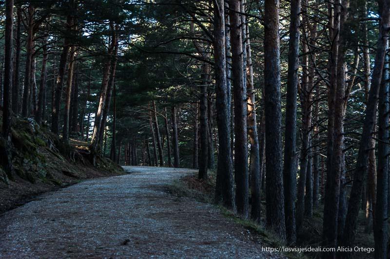 pista forestal en ligero ascenso entre pinos altos