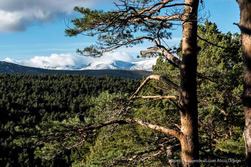 vistas de sierra de morcuera nevada y gran bosque de pinos y abetos