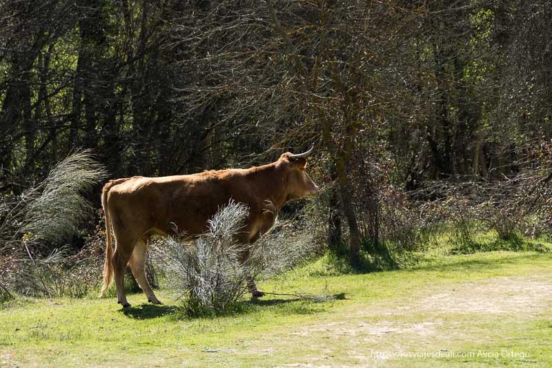 vaca a punto de cruzar un camino con árboles del río de fondo
