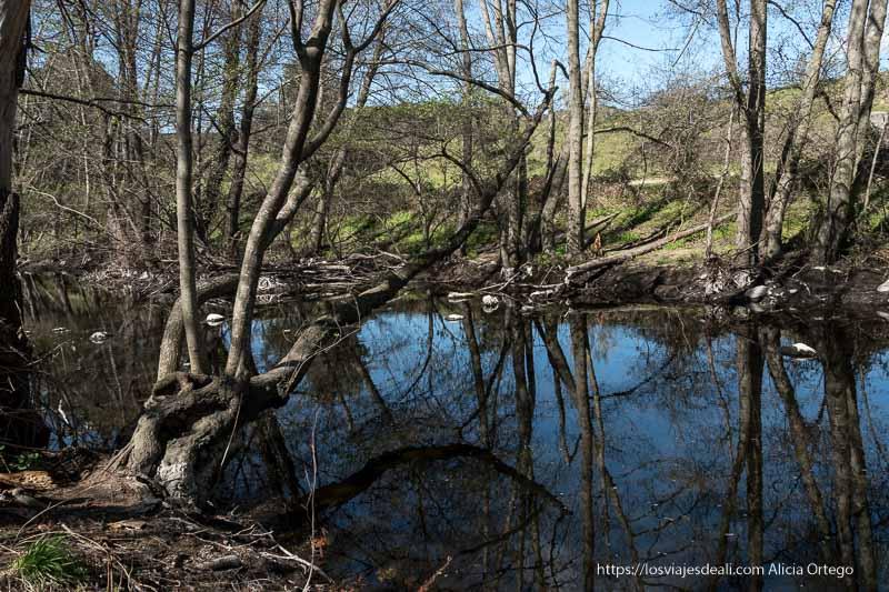 abedules curvados inclinándose sobre el agua del río y reflejándose a la perfección