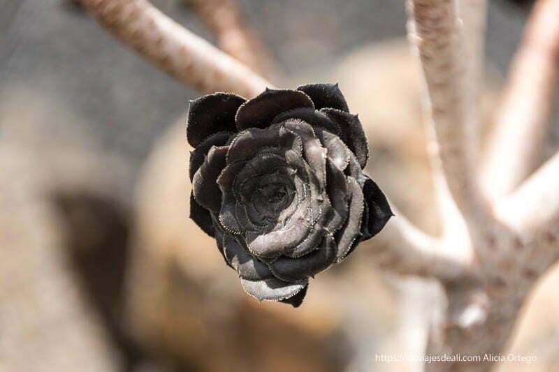 suculenta rosa negra al sol