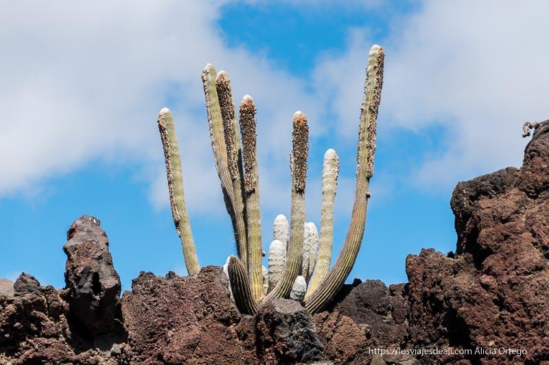 cactus grandes creciendo en abanico sobre rocas volcánicas