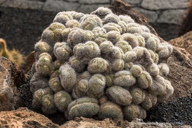 cactus con espinas blancas que crece como un montón de formas ovaladas apiladas