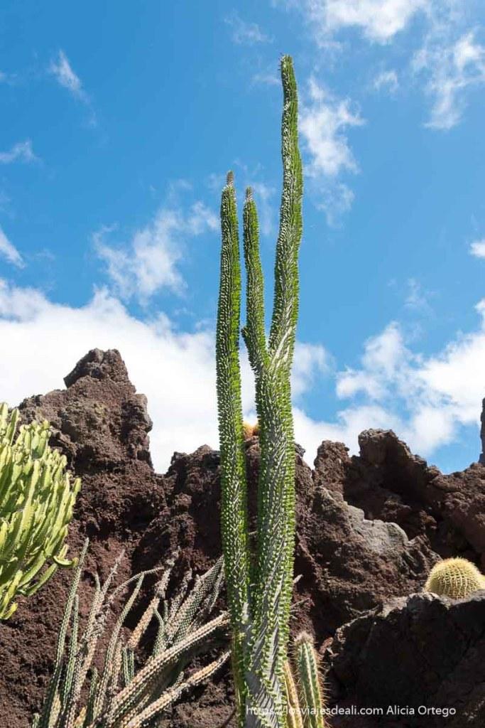 gran cactus de Madagascar que crece en vertical con hojitas verdes diminutas