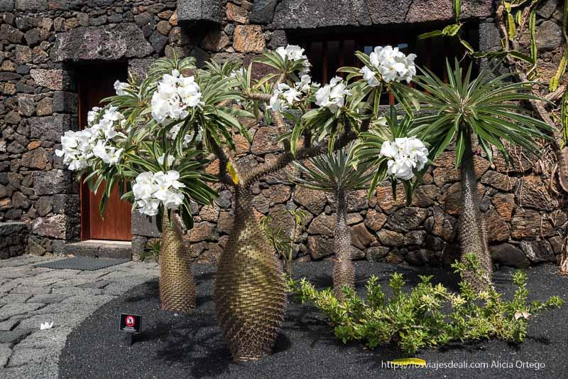 cactus palmera con grandes flores blancas y cuerpo en forma de botella originario de madagascar en el Jardín de cactus de Lanzarote