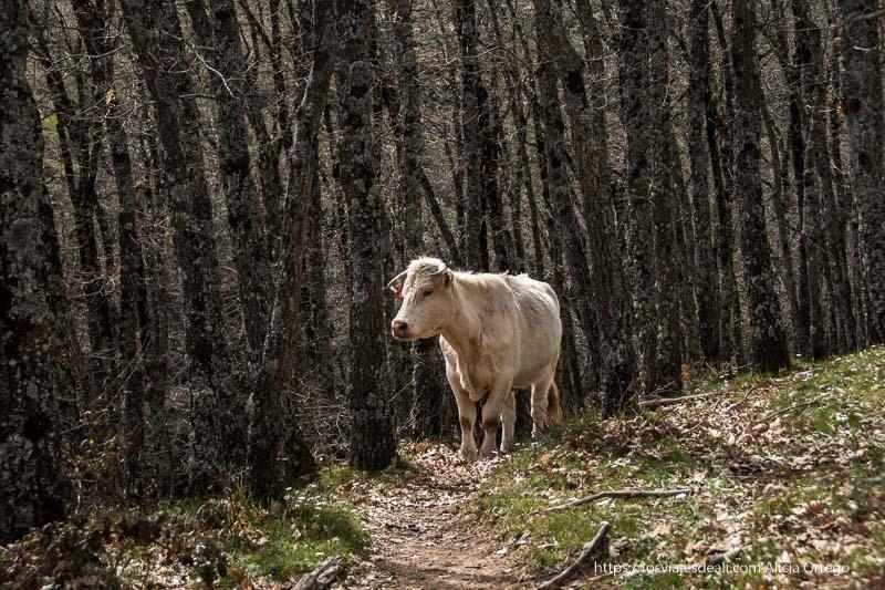 vaca blanca entre encinas oscuras