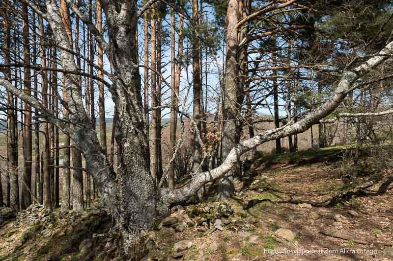 gran árbol con tres ramas abriéndose en abanico junto al camino