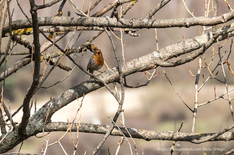 petirrojo posado en una rama de árbol