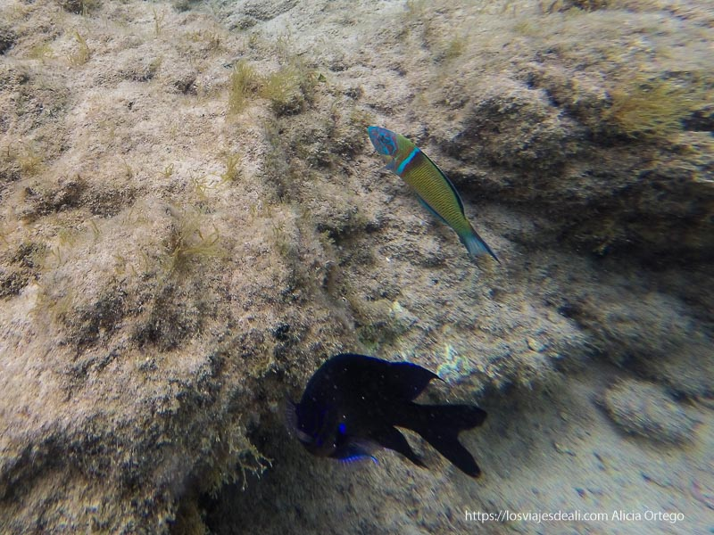 dos peces bajo el agua uno con muchos colorines y otro negro con ribetes azules