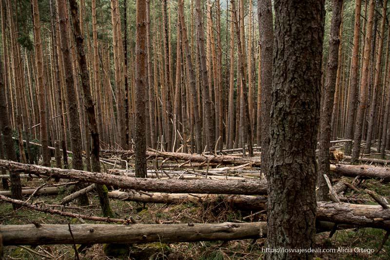 ladera empinada en el pinar con muchos troncos caídos