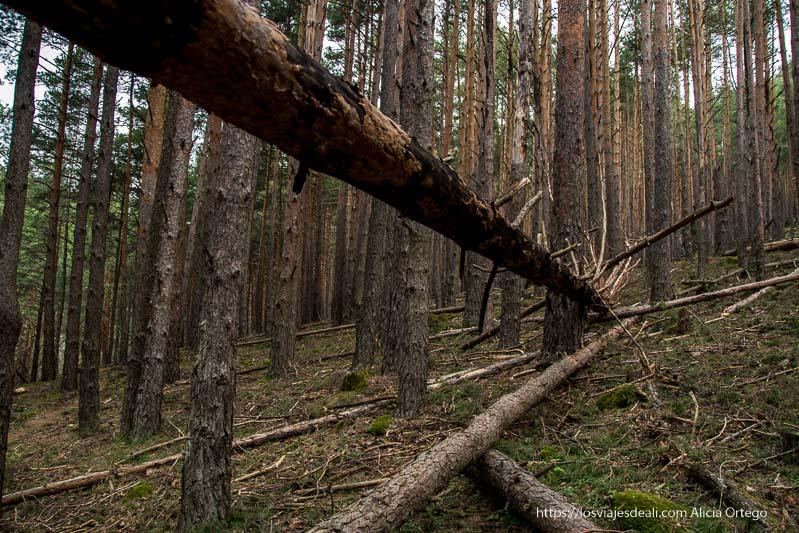 tronco enorme caído con pequeñas ramas puntiagudas en la ruta a la cascada cancho del litero