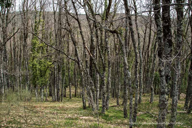 bosque de encinas con enredaderas verdes cubriendo sus troncos