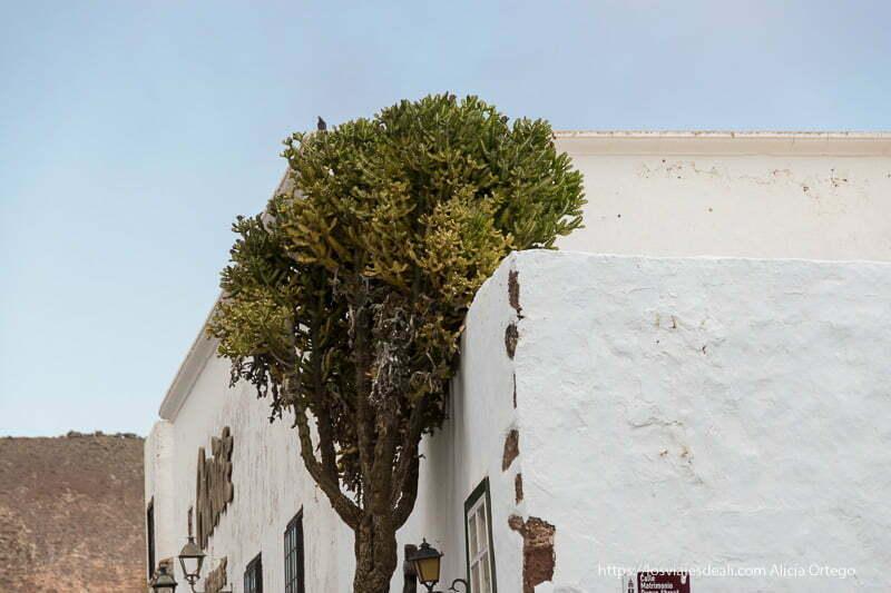 cactus gigante hecho árbol apoyado en muro blanco de una casa