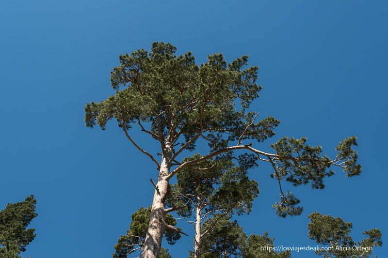 copa de un pino muy alto recortándose en el cielo azul