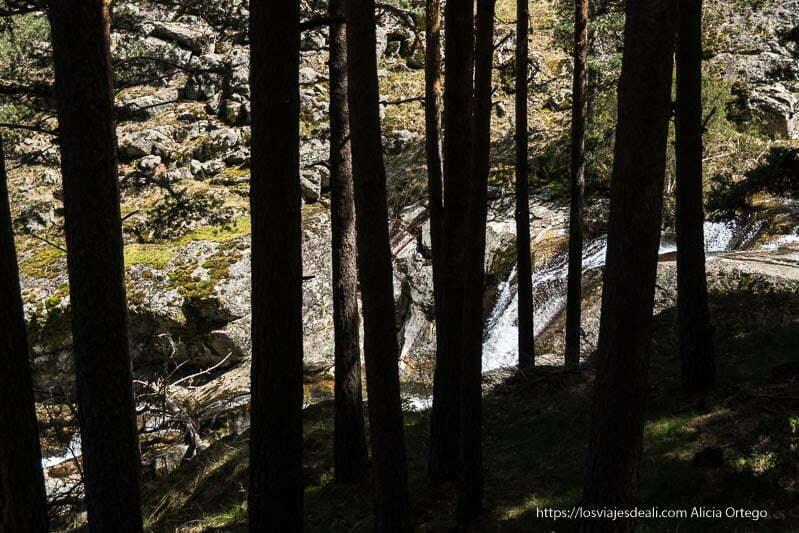 pequeña cascada entre troncos de pinos