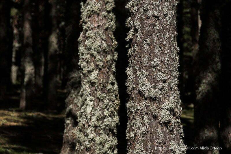 troncos de pino con líquenes