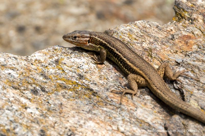 lagartija de color marrón sobre una piedra