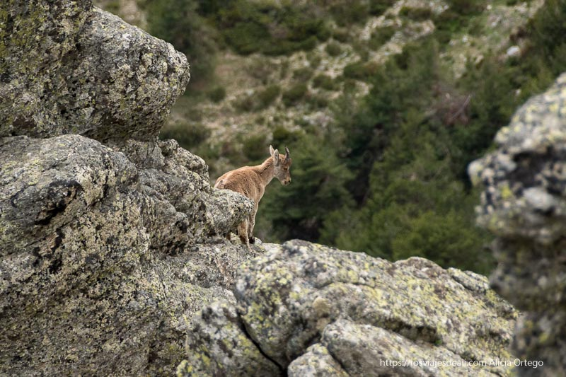 cabra montés de pie sobre unas rocas mirando hacia el precipicio
