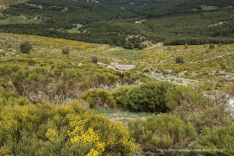 ladera de montaña cubierta de piornos con flores amarillas y pinares en el valle