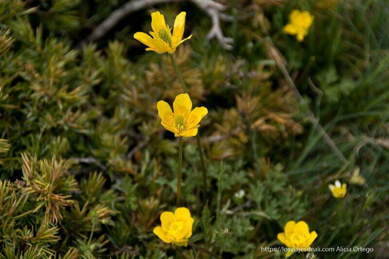 flores amarillas con centro verde