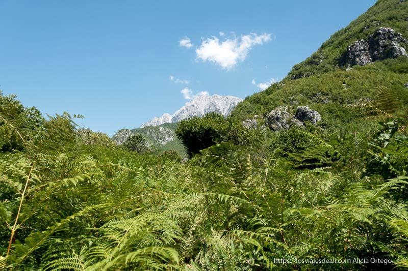 helechos gigantes y un pico blanco al fondo en los alpes albaneses