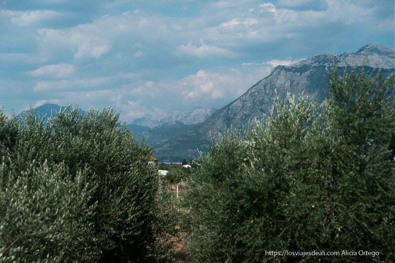 olivos en primer plano y alpes albaneses al fondo con muchas nubes